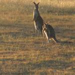 Kangaroos outside our room