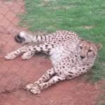 One of the over 60 Cheetahs they have