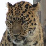 close up of amur leopard