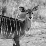 A beautiful Nyala viewed from the garden area