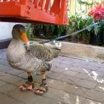 "A local couple stayed with their famed pet goose ""Gator."" He wears sandals to protect his feet."