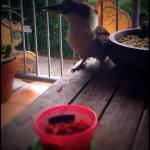 Our resident Seacove Resort Kookaburra enjoying breakfast on our balcony