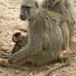 Yellow Baboon with baby. All over the grounds.