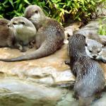 Oriental small clawed Otters