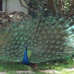 Gorgeous Resident Peacock Showing Off to the Hens!