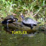 More Turtles