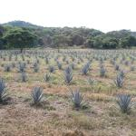 "Part of the very large plantation of the ""Blue Agave"" used to make their Tequila"
