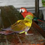 Military Macaw and Scarlet Macaw