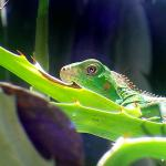 Baby iguana on nature tour
