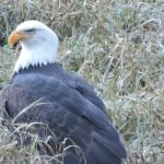 A short drive to Sandpiper Golf course to see hundreds of eagles from their observatory