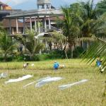 Harvesting rice across the street from the cafe.