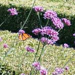 Monarchs in the Garden.