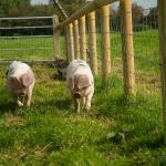 Old Manor rare breed pigs