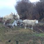Lots of sheep, cattle, and wildlife to see along walks.