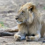 one of the 3 lion males in the area during our stay