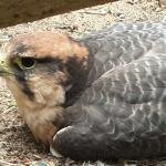 Falcon World of Birds Hout Bay