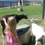 Petting the goats.