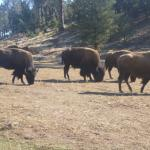the buffalo on the side of the road
