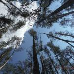 tall cypress in the swamp area