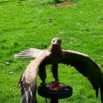 Falconry experience in the grounds