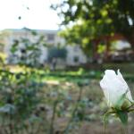 a rose bud in the garden