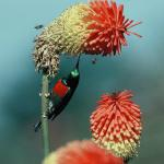 Greater Double-collared Sunbird Cinnyris afer on Kniphofia fluviatilis