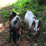 Goats at the fringes