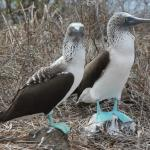 Blue Footed Boobie's
