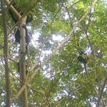 Howler monkeys driving into resort driveway