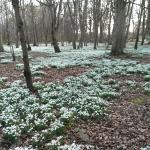 Beautiful snowdrops last March in the Woodland walk
