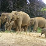 A magnificent herd of elephants at Dublin Zoo