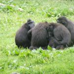 Are these monkeys playing cards at Dublin Zoo?