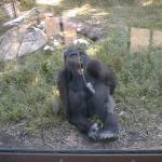 Gorilla at North Carolina Zoo, Ashboro