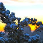 pine with snow at sunrise at Lion Peak