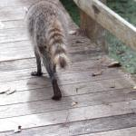 Mr Raccoon does his rounds