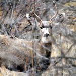 Buck in the Bosque