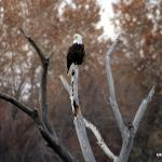 Eagle in the Bosque
