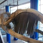 Whale skeleton from 1880s
