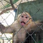 white-faced capuchin from our visit today