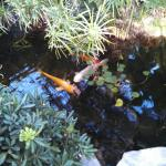 The koi fish were really big with beautiful colors