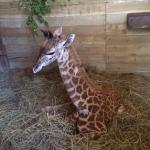 they also have a baby giraffe for the first time