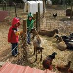 Pregnant Goats and Obnoxious Chickens
