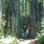 between two redwoods