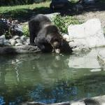 Bear trying to retrieve his apple slice!