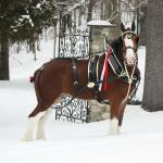 A special visit from the Budweiser Clydsdales