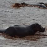 Hippos in front of the camp