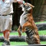 All kitties love milk. This Tiger is no exception.
