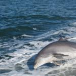 One dolphin in the wake