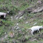 Goats. What else would you find on a mountain?