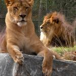 Come see our new lions Bella & Lex